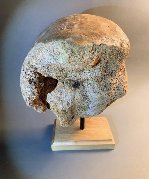 Mammut Oberarm-Gelenk-Fragment auf Holzsockel